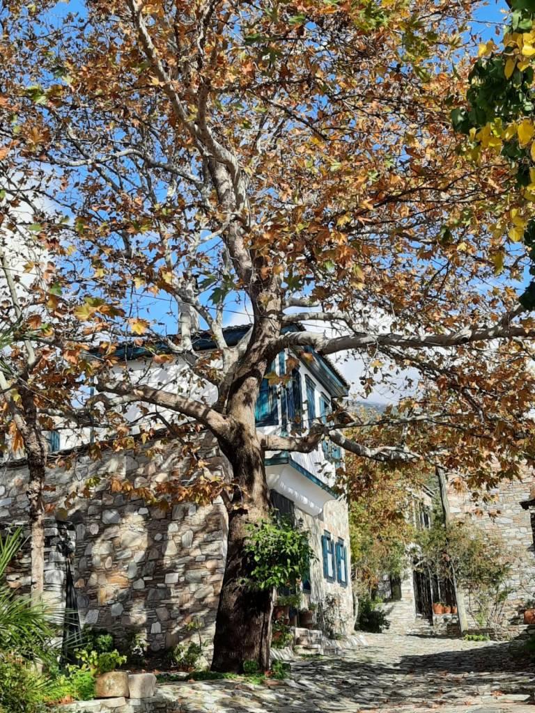 Bu çınar ağacı belki de Efelerin Yunan milislerine karşı mücadelesine tanıklık etmiştir.