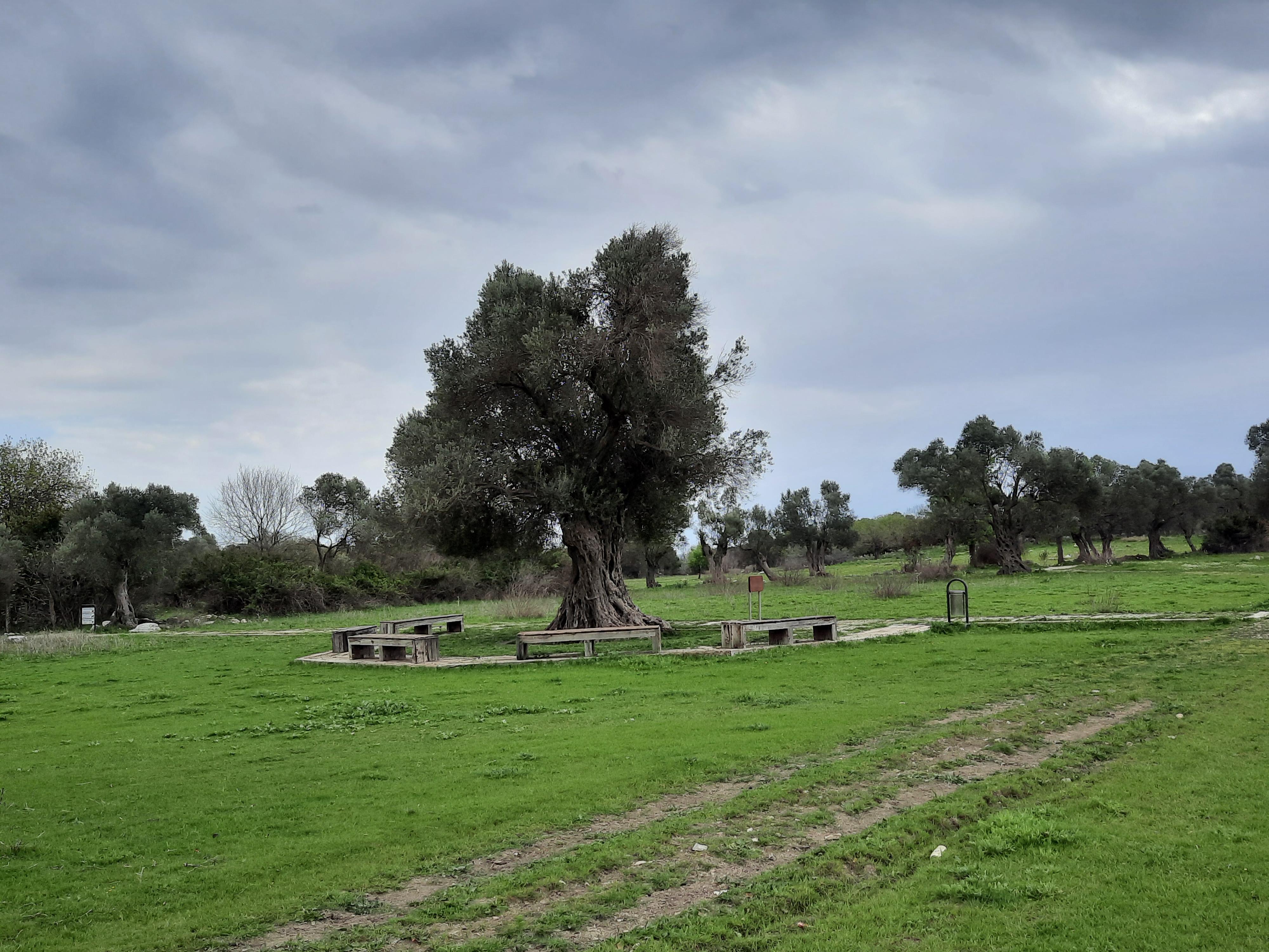 1800 yıllık zeytin ağacı; Umay Nine